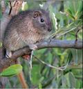 La más rata de todas las jutías (+ Video)
